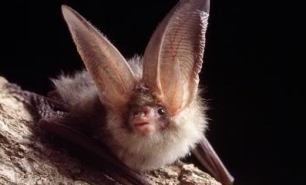 animals that start with o: Ozark big-eared bat