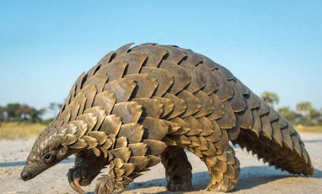 animals that start with p : Pangolin