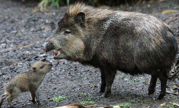animals that start with p : Peccary