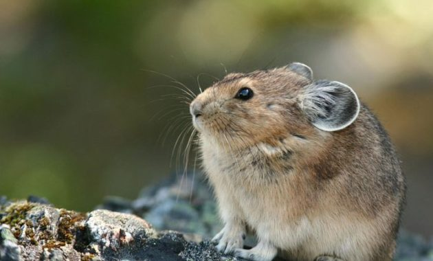animals that start with p : Pika