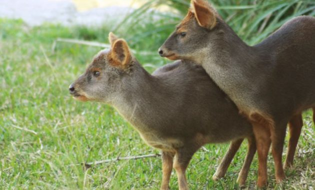 animals that start with p : Pudu