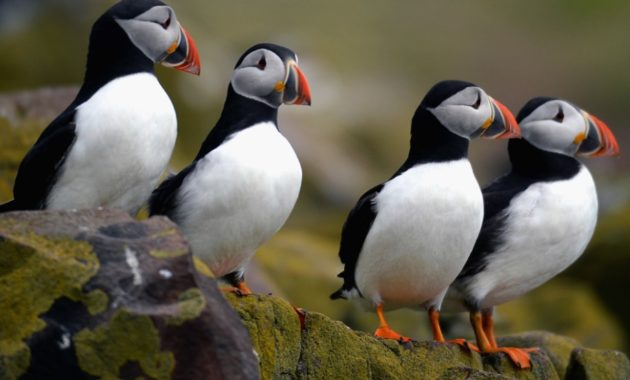 animals that start with p : Puffin