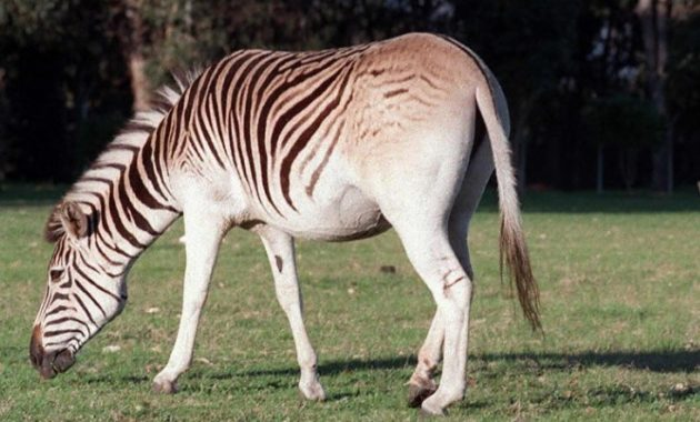 animals that start with Q: Quagga