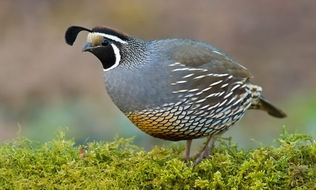 animals that start with Q: Quail