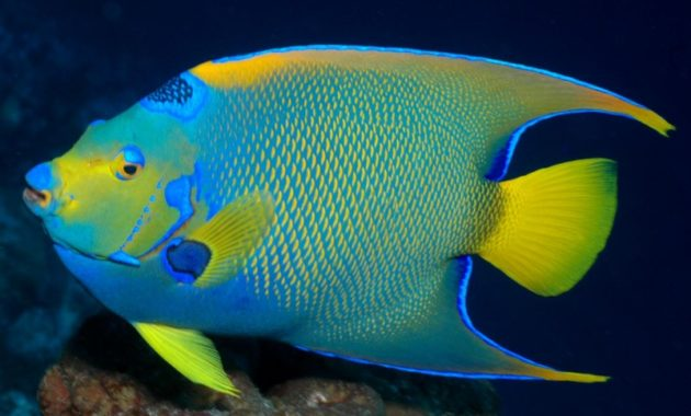 animals that start with Q: Queen Angelfish