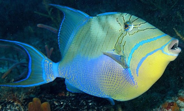 animals that start with Q: Queen Triggerfish