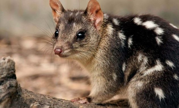 animals that start with Q: Quoll
