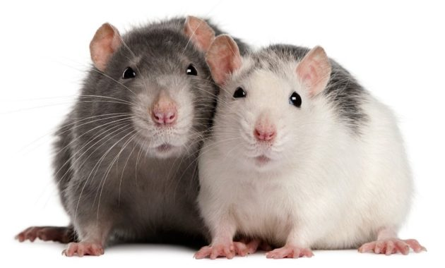 animals that start with R: Rat