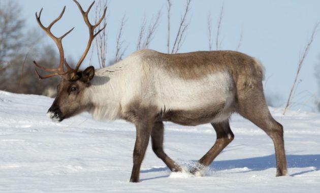 animals that start with R: Reindeer