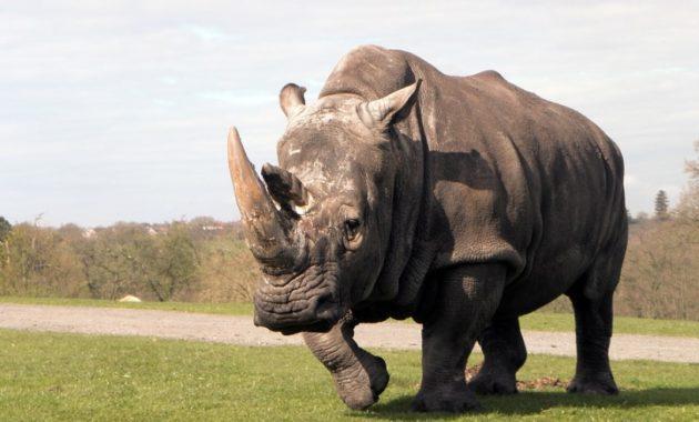 animals that start with R: Rhinoceros