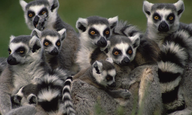 animals that start with R: Ring-tailed Lemur