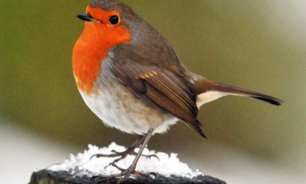 animals that start with R: Robin