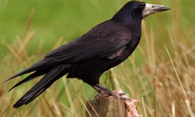 animals that start with R: Rook