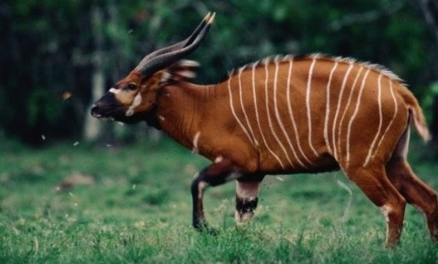 animals that start with s: Saola