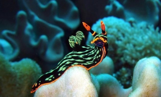 animals that start with s: Sea Slug