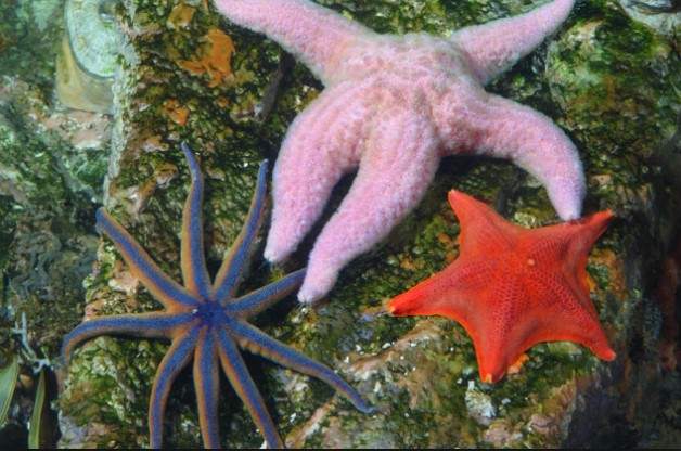 animals that start with s: Sea Star