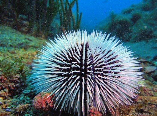 animals that start with s: Sea Urchin