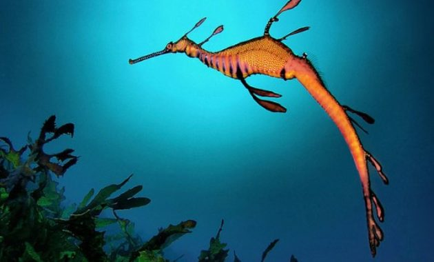animals that start with s: Sea dragon