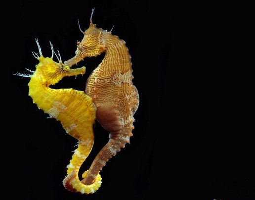 animals that start with s: Seahorse