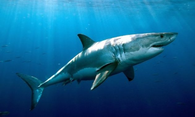 animals that start with s: Shark