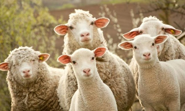 animals that start with s: Sheep
