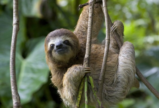 animals that start with s: Sloth