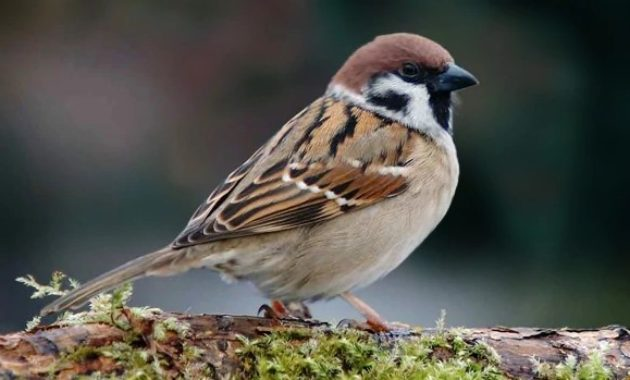 animals that start with s: Sparrow