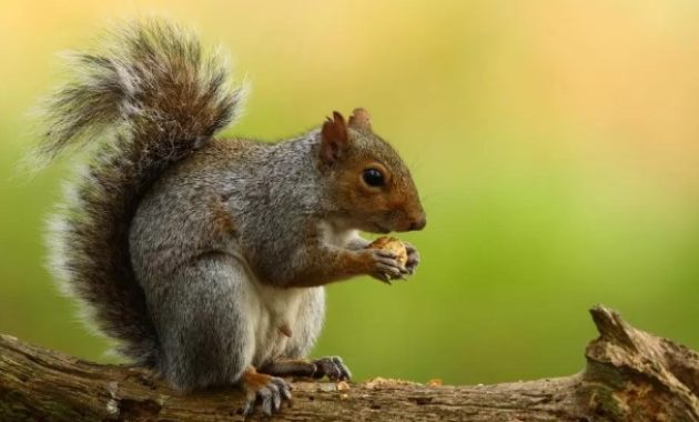 animals that start with s: Squirrel