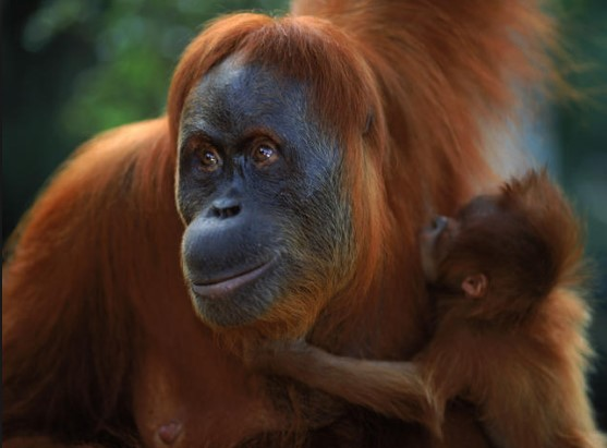 animals that start with s: Sumatran Orang-utan
