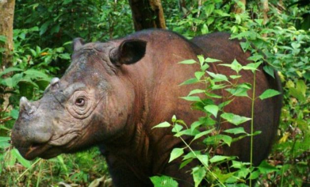 animals that start with s: Sumatran Rhinoceros