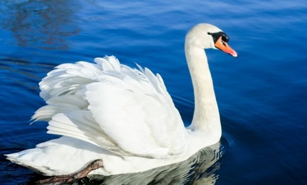 animals that start with s: Swan