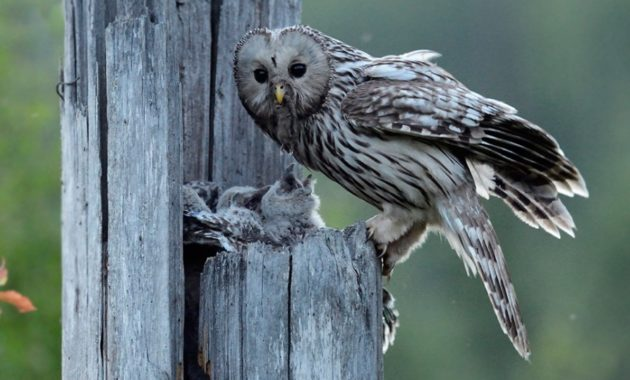 animals that start with u:Ural Owl