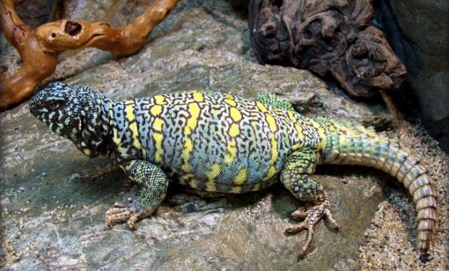animals that start with u: Uromastyx Lizard