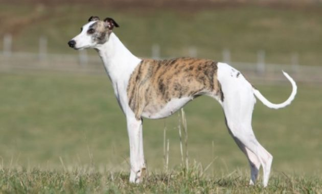 Animals That Start with W: Whippet