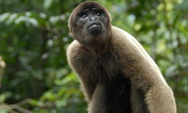 Animals That Start with W: Wolly Monkey