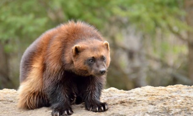 Animals That Start with W: Wolverine