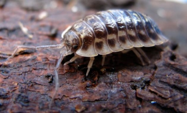 Animals That Start with W: Woodlouse