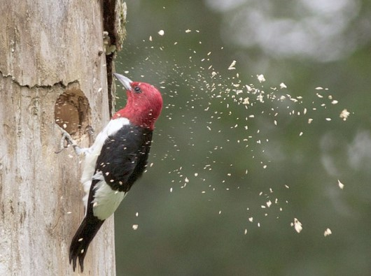 Animals That Start with W: Woodpecker