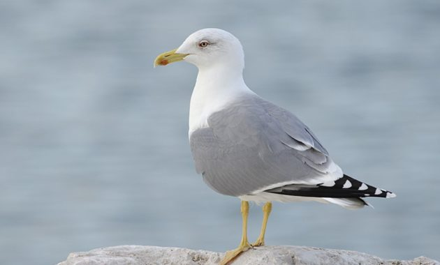 nimals that start with y : Yellow-legged Gull