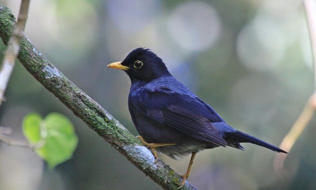 animals that start with y : Yellow-legged Thrush