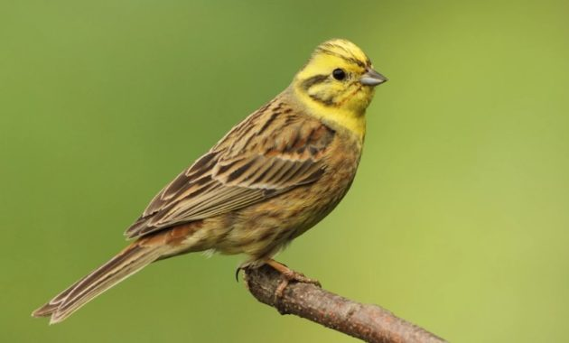 animals that start with y : Yellowhammer