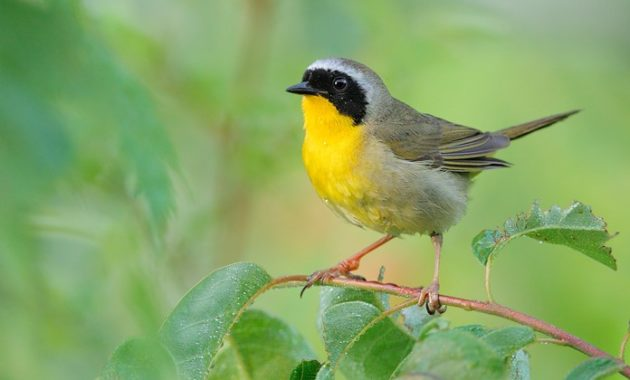 animals that start with y : Yellowthroat
