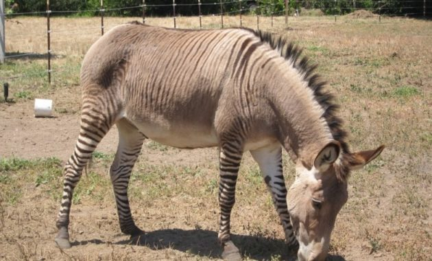 animals that start with z: Zonkey