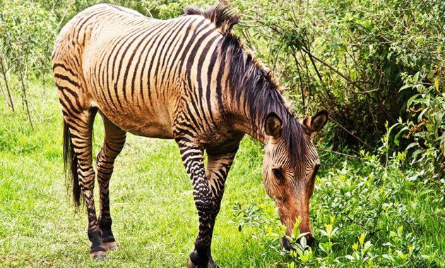 animals that start with z: Zorse