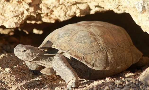 animals that start with D: desert tortoise