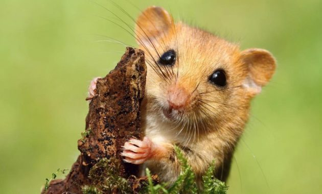 animals that start with D: dormouse