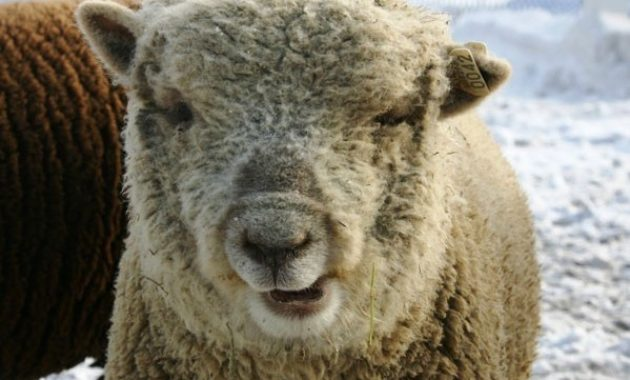 down syndrome animals sheep