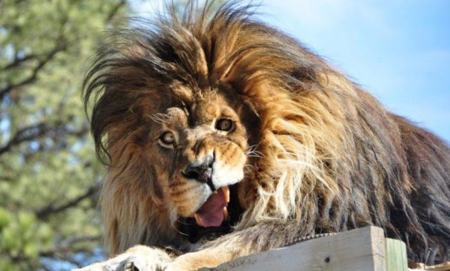 down syndrome animals lion
