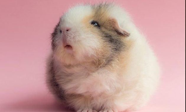down syndrome animals hamster