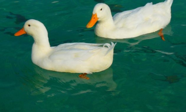 animals that start with D: Duck